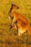 Canguru cinzento ocidental Foto de Stock