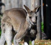 Canguru cinzento oriental Imagens de Stock