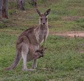 Canguru cinzento oriental Fotos de Stock Royalty Free