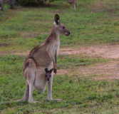 Canguru cinzento oriental Foto de Stock