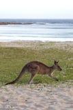 Canguru cinzento oriental (giganteus do Macropus) Fotografia de Stock