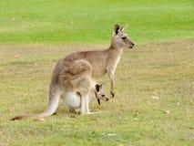 Canguru com bebê Imagens de Stock