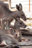 Canguru da família em um jardim zoológico Fotos de Stock