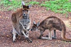 Canguru da matriz com dois bebês imagem de stock