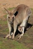 Canguru da matriz e do bebê Fotografia de Stock