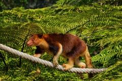 Canguru de árvore de Goodfellow Imagens de Stock