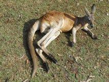 Canguru de descanso Fotos de Stock Royalty Free