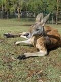 Canguru de descanso Foto de Stock Royalty Free