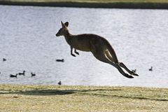 Canguru de salto Foto de Stock Royalty Free