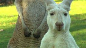 Canguru do albino com canguru marrom atrás vídeos de arquivo