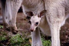 Canguru do bebê Imagem de Stock Royalty Free