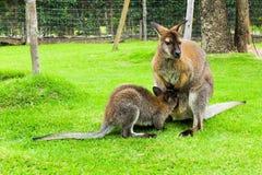 Canguru em Tailândia Imagens de Stock Royalty Free
