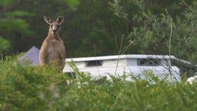 Canguru em um local de acampamento em Austrália vídeos de arquivo