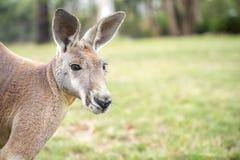 Canguru na liberdade em Austrália imagem de stock