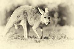 Canguru na natureza Efeito do vintage Imagens de Stock Royalty Free