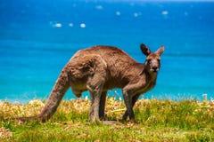 Canguru na praia Fotos de Stock Royalty Free