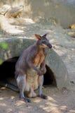 Canguru no campo aberto Fotos de Stock