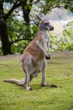 Canguru no campo fotografia de stock royalty free