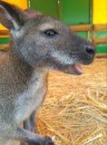 Canguru no jardim zoológico fotos de stock