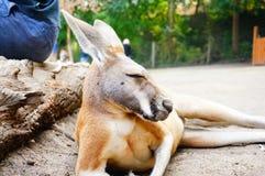Canguru no jardim zoológico, Canadá Imagens de Stock