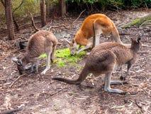 Canguru no jardim zoológico de Perth Imagens de Stock Royalty Free