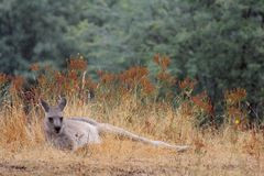 Canguru perto da bolha do Mt, Victoria, Austrália Foto de Stock