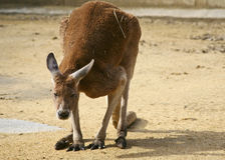 Canguru que olha nos Fotografia de Stock