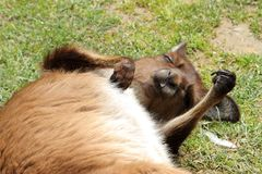 Canguru que relaxa Imagem de Stock