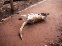 Canguru que relaxa Imagem de Stock Royalty Free