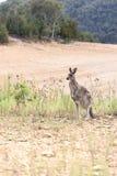 Canguru selvagem Fotografia de Stock Royalty Free