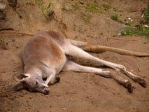 Canguru vermelho Fotografia de Stock Royalty Free