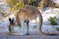 Canguru vermelho Imagem de Stock