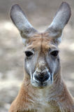 Canguru vermelho fotos de stock royalty free
