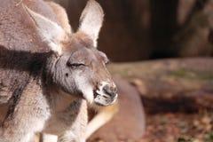 Canguru vermelho ocidental Imagens de Stock Royalty Free