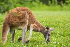 Canguru vermelho que come a grama no campo Fotos de Stock Royalty Free