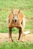 Canguru vermelho que olha a câmera. Imagem de Stock Royalty Free