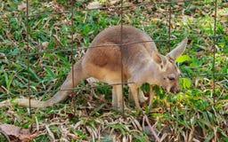 Canguru vermelho - rufus do Macropus imagens de stock royalty free