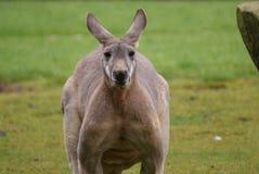 Canguru vermelho - rufus do Macropus Foto de Stock