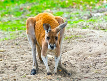 Canguru vermelho (rufus do Macropus) Imagens de Stock Royalty Free