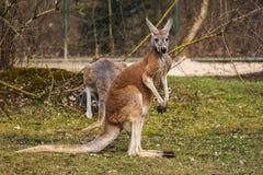 Canguru vermelho, rufus do Macropus em um jardim zool?gico alem?o imagem de stock