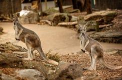 Canguru vermelho selvagem no jardim zoológico em Queensland, Austrália fotografia de stock