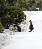 Cangurus como um perigo da estrada no Sul da Austrália foto de stock royalty free