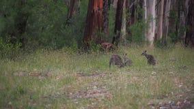 Cangurus da mãe e dos bebês que comem na floresta em Austrália video estoque