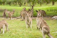 Cangurus de Brisbane Fotos de Stock