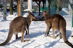 Cangurus na neve no jardim zoológico de Sapporo Maruyama, Hokkaido Japão imagem de stock royalty free