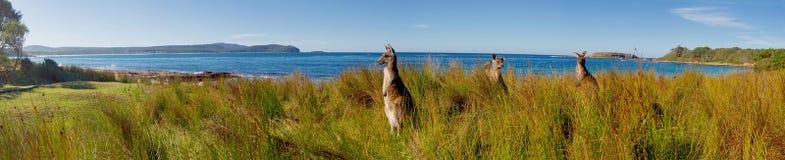 Cangurus na praia Fotos de Stock