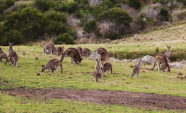 Cangurus no por do sol Parque nacional de Eurobodalla austrália Fotos de Stock