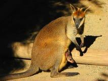 Cangurus, Novo Gales do Sul, Austrália foto de stock