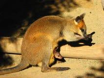 Cangurus, Novo Gales do Sul, Austrália imagens de stock