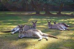 Cangurus preguiçosos em Tasmânia Imagem de Stock